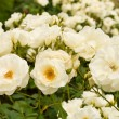 White roses bushes — Stock Photo #5362419