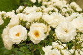 White roses bushes — Stock Photo