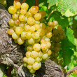 Yellow grapes — Stock Photo #5245603