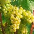 Yellow grapes — Stock Photo #5245607