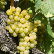 Yellow grapes - Foto de Stock