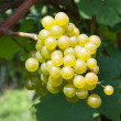 Yellow grapes — Stock Photo #5245707