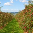 Foto Stock: Apple garden