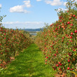 Stock Photo: Apple garden
