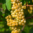 Yellow grapes — Stock Photo #5245837