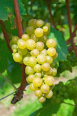 Yellow grapes — Foto de Stock