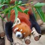 Red panda (firefox) — Stock Photo #5326684