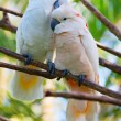 Stock Photo: Pair of cockatoo