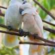 Pair of cockatoo parrots on the tree — Stock Photo #5326732