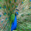 Beautiful color peacock — Stock Photo