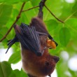 Fruit bat — Stock Photo