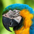 A blue and yellow macaw — Stock Photo