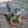 Young green iguana — Photo