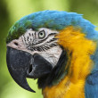 Stock Photo: A blue and yellow macaw