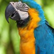 Stock Photo: Arparrot
