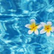Stock Photo: tropical frangipani flower in water
