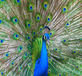 Beautiful male peacock — Stock Photo
