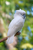 Yellow crested australian white cockatoo — Stock Photo