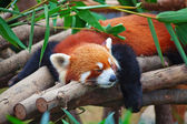Red panda (firefox) — Stock Photo