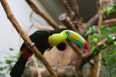 Tucan — Stock Photo