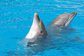 Bottle-nose dolphins — Stock Photo
