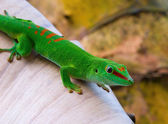 Madagascar day gecko — Foto Stock