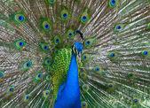 Beautiful color peacock — Stock Photo