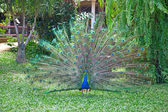 Peacock with fully fanned tail — Stock Photo