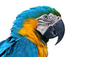 Parrot, Blue-and-yellow Macaw — Stock Photo