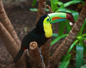 Kee billed Toucan — Stock Photo