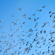 Many flying pigeons - Stock Photo