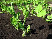 Young growth of pea — Stock Photo