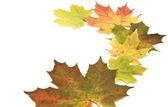 Beautiful maple leaves on white background. — Stock Photo