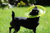 Siyah köpek — Stok fotoğraf