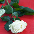 Beautiful white rose on red background — Foto de Stock