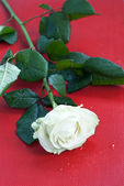 Beautiful white rose on red background — Stock Photo