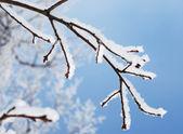 Winter snow branch — Stock Photo