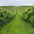 Rows of grapes — Foto Stock
