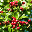 Red hawthorn berries - Stock Photo