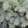 Fur-tree branches background — Stock Photo