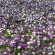 Crocus field — Stock Photo