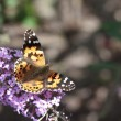 Painted Lady (Vanessa cardui) butterfly on summer lilac — Stock Photo