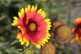 Red yellow daisy — Stock Photo