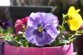 Purple pansy — Stock Photo