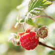 Stock Photo: Red raspberry