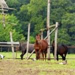 Three horses in pasture — Stock Photo