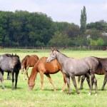 Herd of horses in pasture — Stock Photo