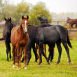 Herd of horses in pasture — Stock Photo