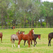Stock Photo: Horses in pasture
