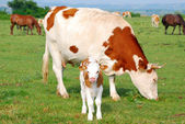 White and brown cow and calf — Stock Photo